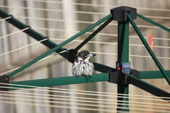 Australian Butcherbird on clothes dryer in backyard stock image
