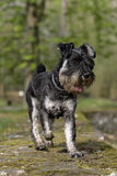 Funny schnauzer dog. Frontal close-up of a running schnauzer dog Royalty Free Stock Photography