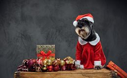 A dog dressed in Christmas dress on a wooden box with Xmas garla Stock Images