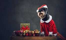 A dog dressed in Christmas dress on a wooden box with Xmas garla Royalty Free Stock Images
