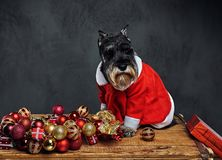 A dog dressed in Christmas dress on a wooden box with Xmas garla Stock Photo