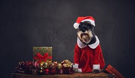 A dog dressed in Christmas dress on a wooden box with Xmas garla Royalty Free Stock Photos