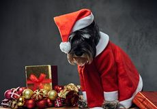 A dog dressed in Christmas dress on a wooden box with Xmas garla Stock Image