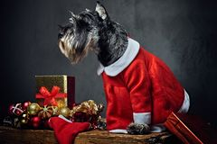 A dog dressed in Christmas dress on a wooden box with Xmas garla Stock Photos