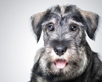 Funny schnauzer puppy Stock Photos