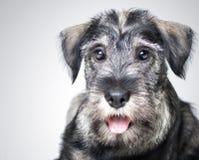 Funny schnauzer puppy. Over gray Stock Photos