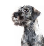 Funny schnauzer puppy. Isolated on white Royalty Free Stock Photo