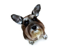 Funny schnauzer with raised ears sitting Stock Photo