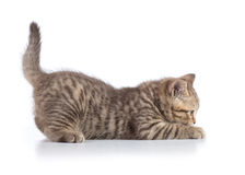 Funny scottish cat kitten profile side view on white. Funny scottish cat kitten profile side view royalty free stock photography