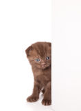 A funny scottish fold kitten royalty free stock photo