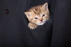A funny scottish fold kitten in the pocket Royalty Free Stock Photography
