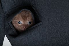 A funny scottish fold kitten in the pocket Royalty Free Stock Image