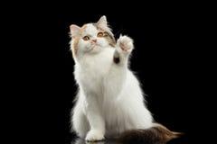 Funny Scottish Highland Straight Cat Raising paw, Isolated Black Background Royalty Free Stock Images