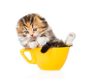 Funny Scottish kitten in large cup on white background Royalty Free Stock Image