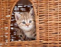 Funny Scottish kitten sitting inside wicker house Royalty Free Stock Photography
