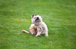 Funny dog with fleas Royalty Free Stock Images