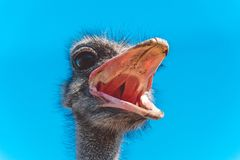 Funny screaming noisy African ostrich Stock Images
