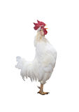 Funny screaming rooster Stock Images