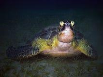 Funny sea turtle underwater stock image
