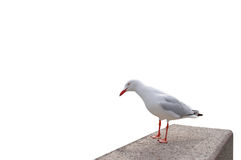 Funny Seagull Stock Photo