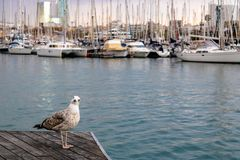 Funny seagull looking at the camera with the blurred yachts on the background - Image royalty free stock photos