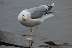 Funny seagull royalty free stock photo