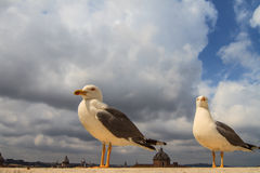 Funny Seagulls Stock Image