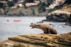 Funny Seal on a Cliff. Seal in La Jolla on a rock Royalty Free Stock Image