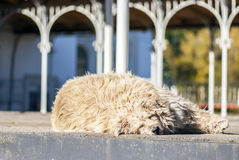 Funny shaggy doggie sleeps in the street Stock Photo