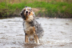 Funny shaking dog Royalty Free Stock Image