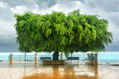 Funny shape of green tree on embankment in Sicily. Royalty Free Stock Photography