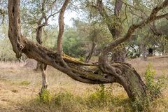 A funny shape olive tree in the overgrown olive grove at Corfu Greece. Royalty Free Stock Images