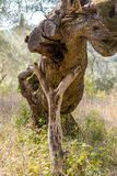 A funny shape olive tree in the overgrown olive grove at Corfu Greece. Stock Photos