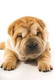 Funny shar pei puppy Royalty Free Stock Photography
