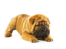 Funny shar pei puppy. Funny sharpei puppy isolated on white background (studio shot Stock Photos