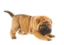 Funny sharpei Royalty Free Stock Photos