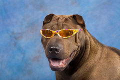 Funny Sharpei dog with sunglasses Stock Photos