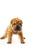 Funny sharpei puppy. Isolated on white background (studio shot Royalty Free Stock Photo