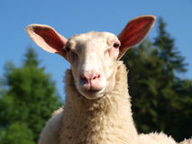 Funny Sheep Royalty Free Stock Photos
