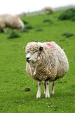 Funny sheep Royalty Free Stock Image