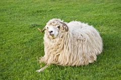Funny sheep. Staring and eating on grass royalty free stock photos