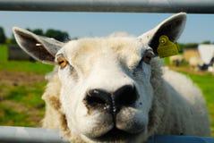 Funny sheep Royalty Free Stock Image