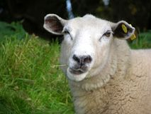 Funny sheep. On green meadow Stock Images