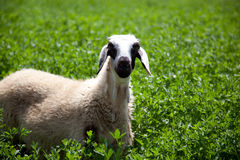 Funny sheep in clover field Royalty Free Stock Photos