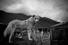 Funny sheep dogs in Ushguli Stock Images