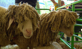 Funny sheep at livestock exhibition Royalty Free Stock Image