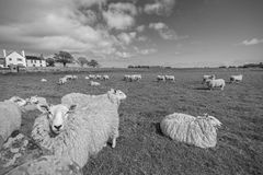 Funny Sheep. A Funny Sheep Looking to the Camera. Processed in B&W Royalty Free Stock Photo