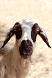 Funny sheep making eye contact Royalty Free Stock Image