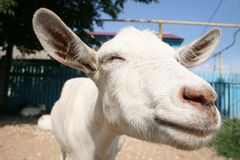 Funny goat. Northern goat in a Russian village Stock Images