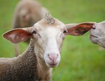 Funny sheep in the pasture. One with a mohawk on the head looks at the camera, the other is gossiping first in his ear royalty free stock photos